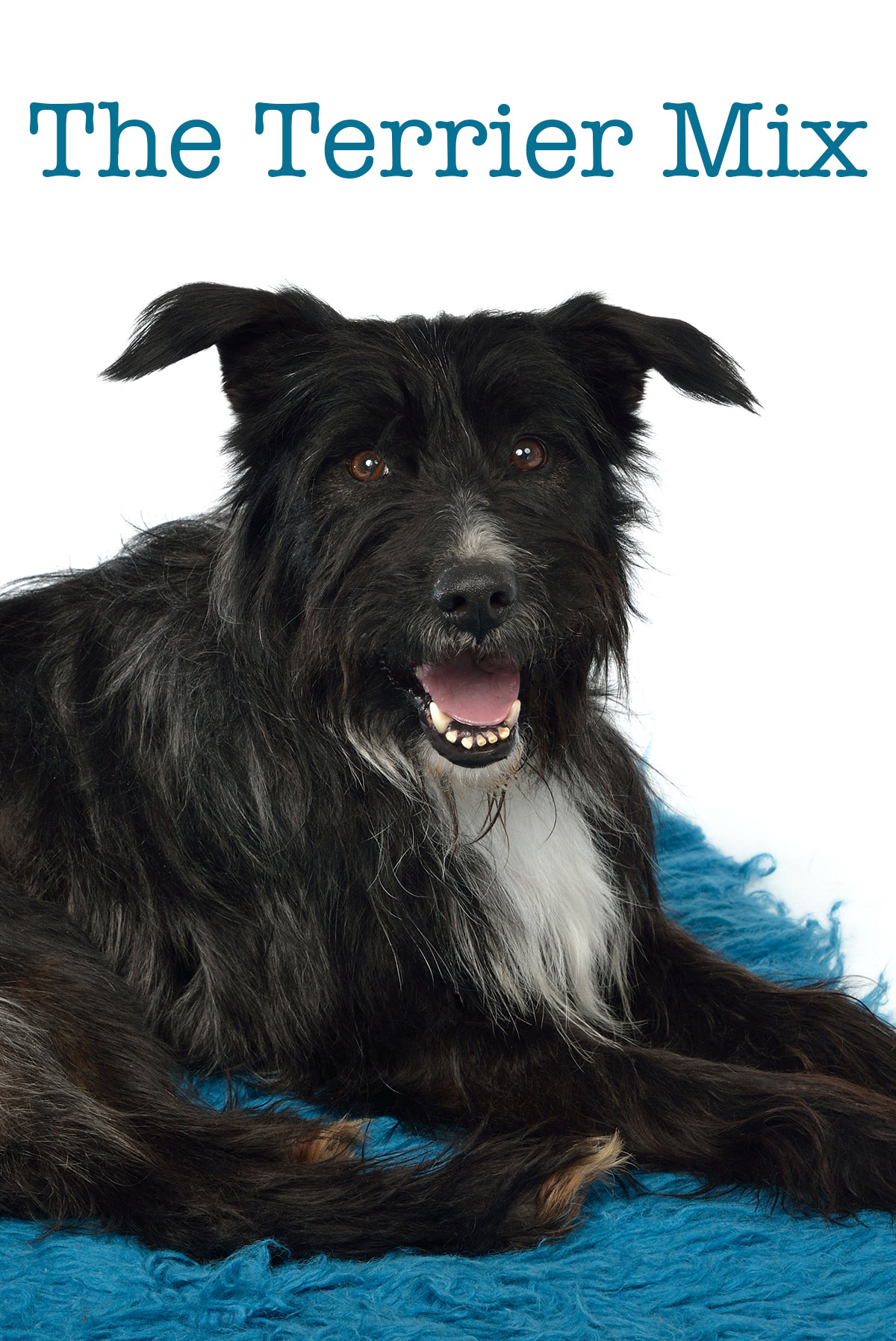 Terrier Mix - Pros and Cons of the Top Terrier Cross Breeds