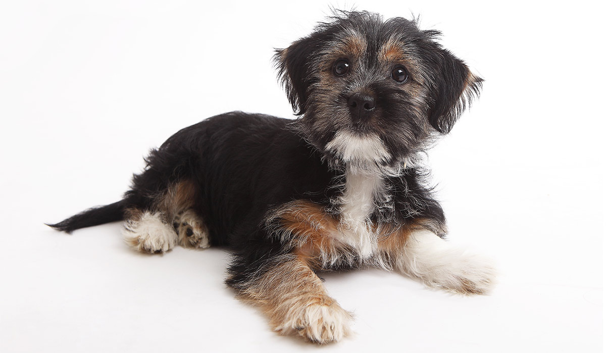 Terrier Mix Pros And Cons Of The Top