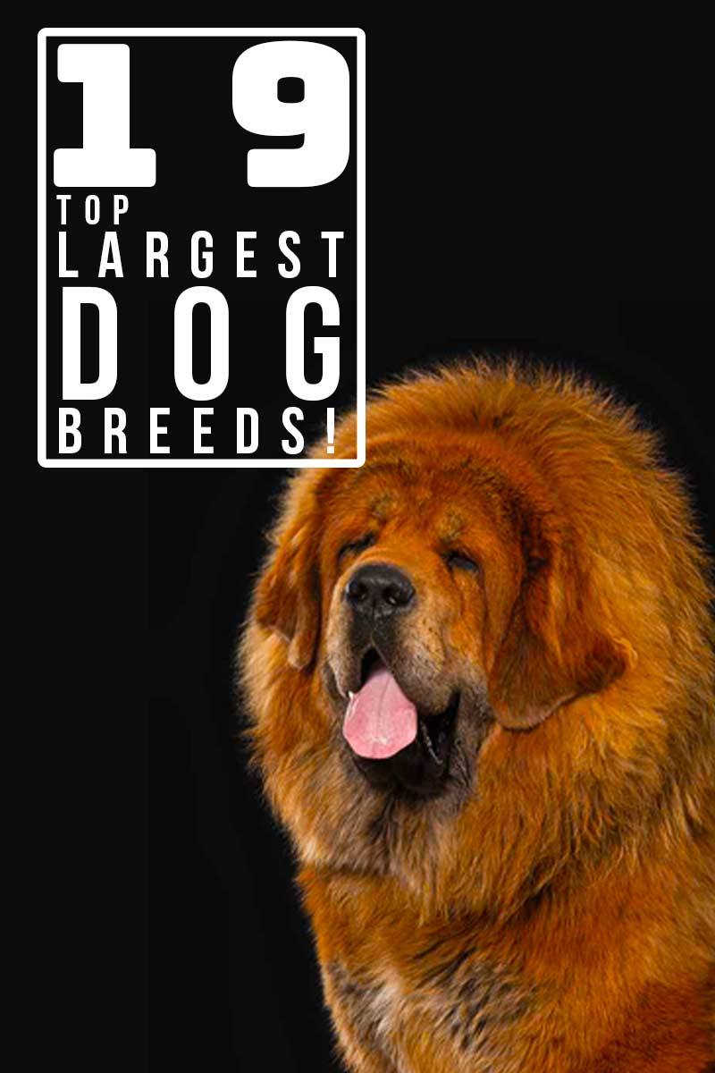19 top largest dog breeds! - Dog breed reviews.