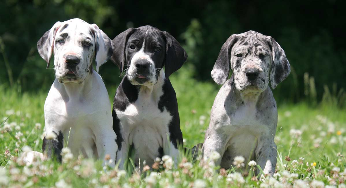Largest Dog Breeds - Featuring The Biggest Dog In The World