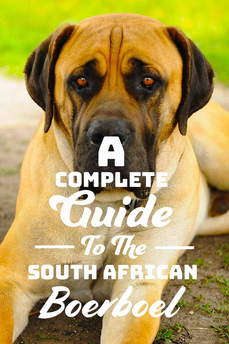 A complete guide to the South-African Boerboel - Dog breed guide.