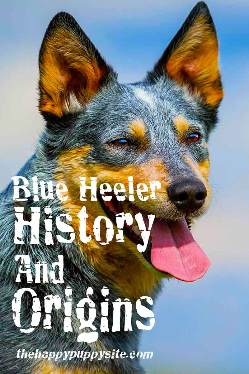 The Blue Heeler history and origins - A dog breed history.