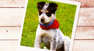 Pictures of Blue Heelers
