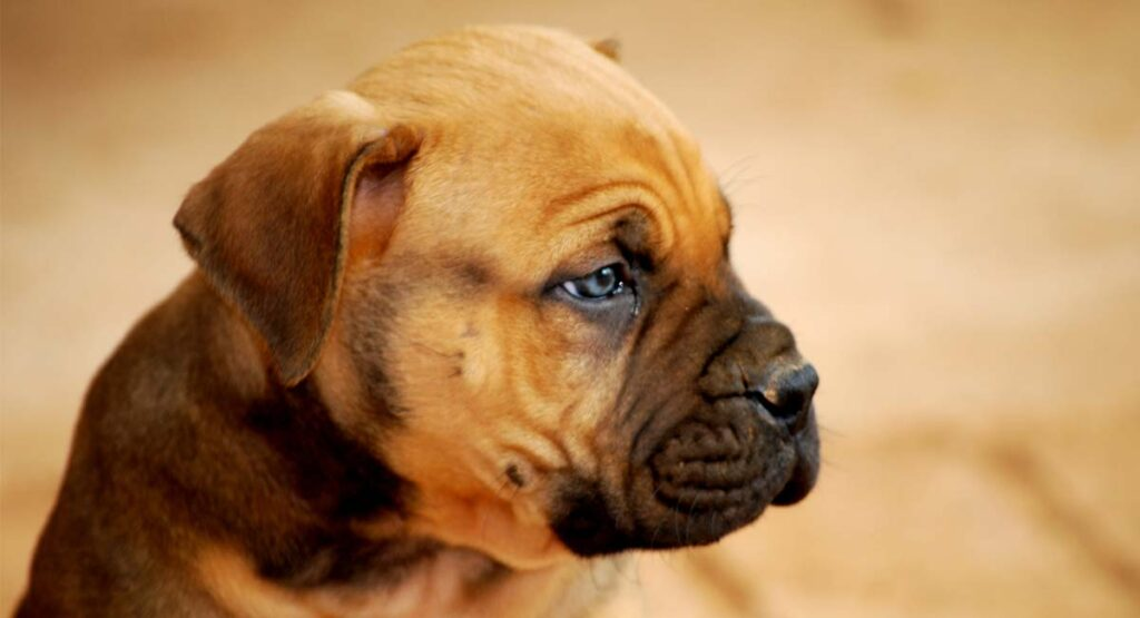 Boerboel Dog: Breed Information Center for the South African Boerboel