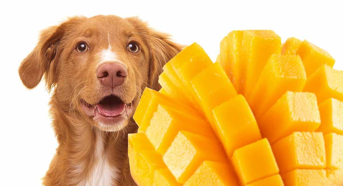 Can Dog Eat Mango?