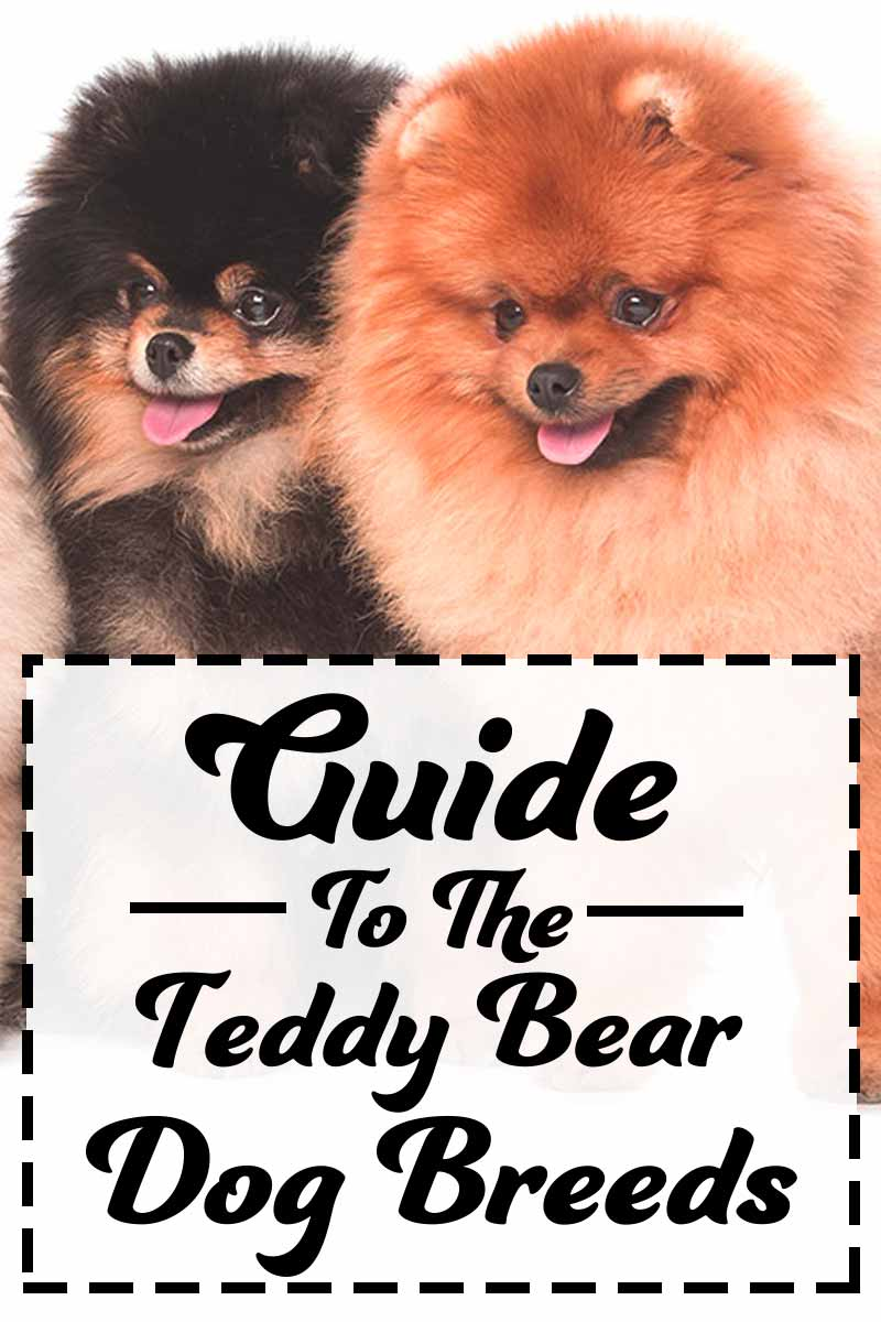 A complete guide to the Teddy Bear Dog Breeds - Dog breed reviews