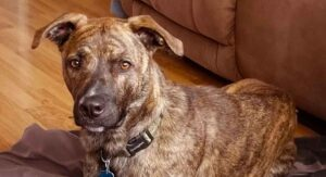 Mountain Cur Dog Breed Information Center – Discover The Mountain Cur