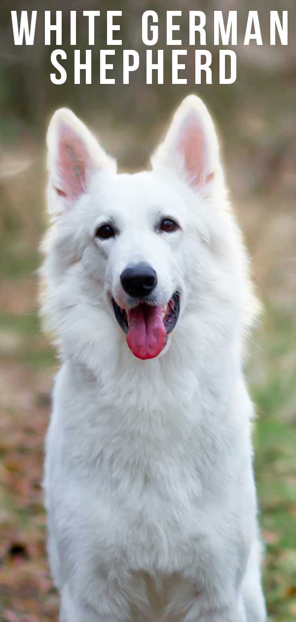 White German Shepherd Dog - A Complete Guide To A Snowy