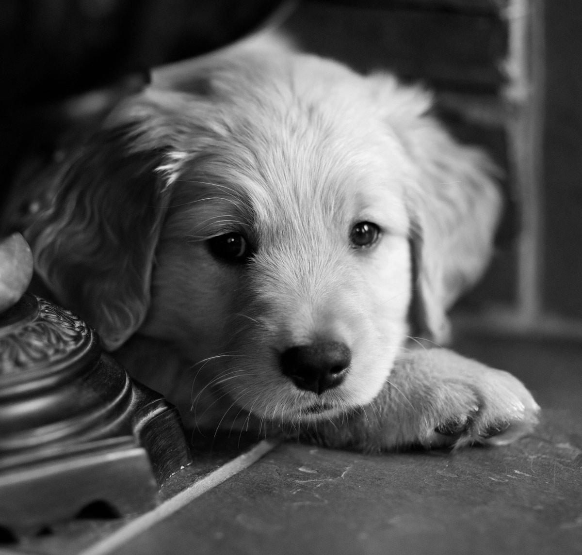 black and white pictures of Golden Retrievers