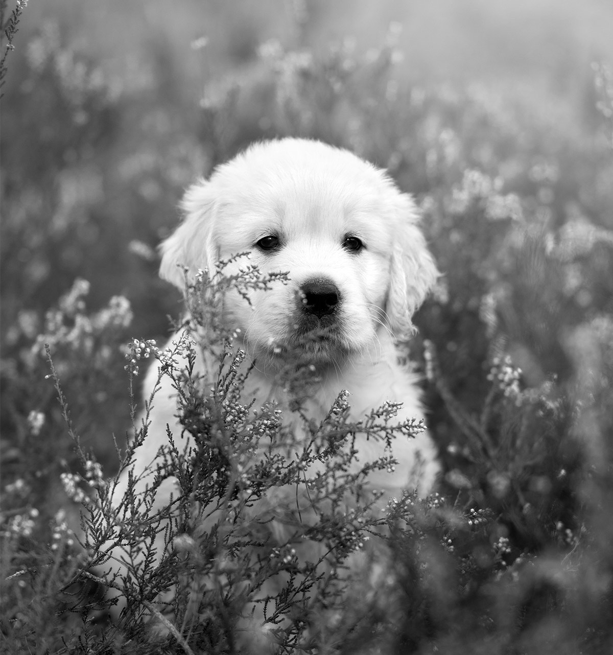 black and white photos of Golden Retrievers