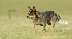 Blue Heeler History  And Origins