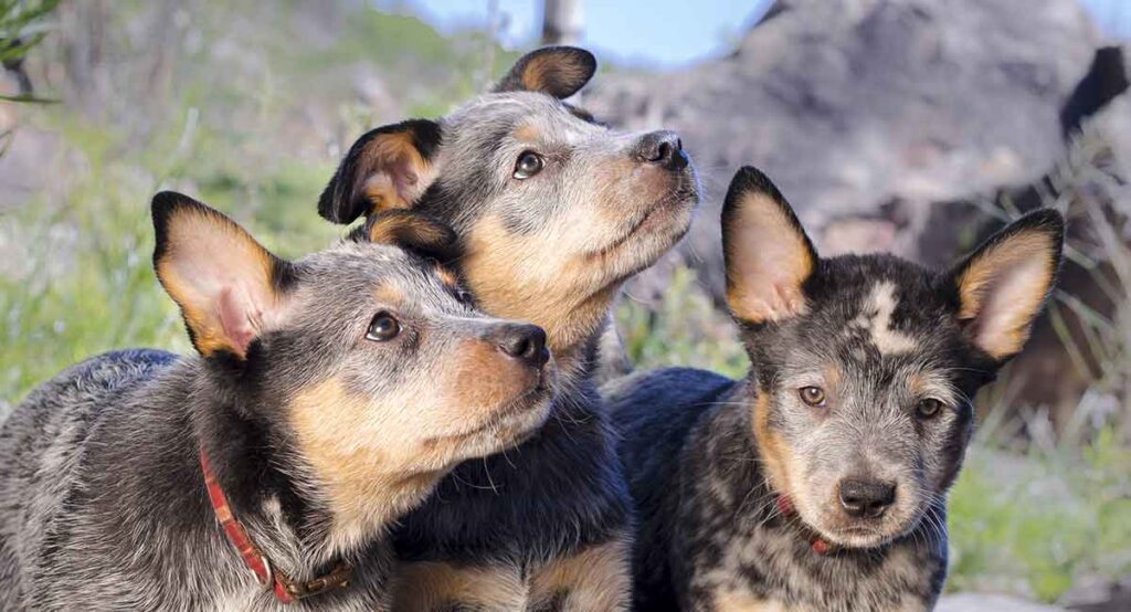 This image has an empty alt attribute; its file name is blue-heeler-names-1-1024x554.jpg