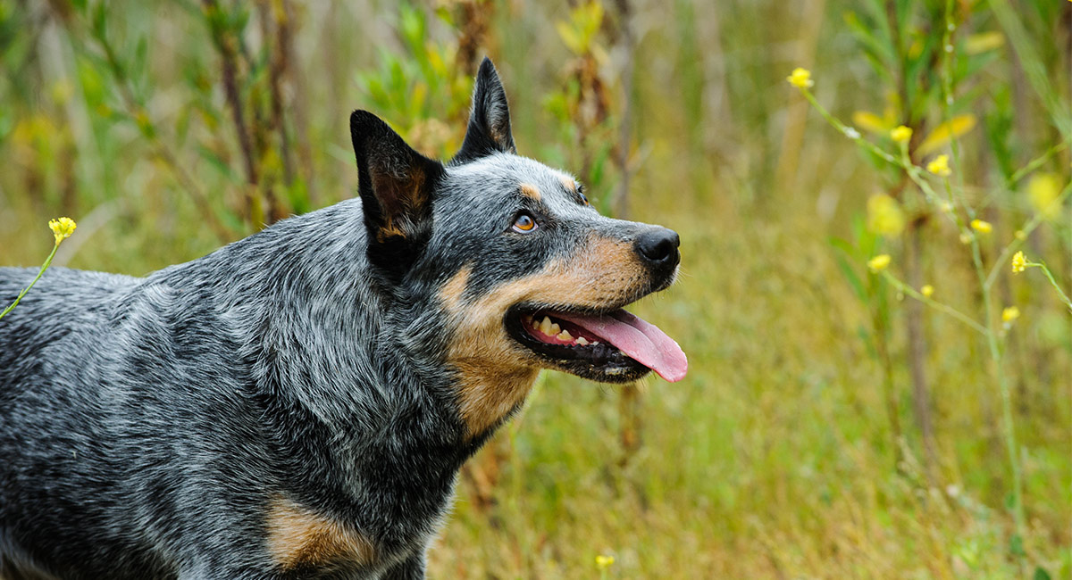 Blue Heeler Names 200 Brilliant Ideas