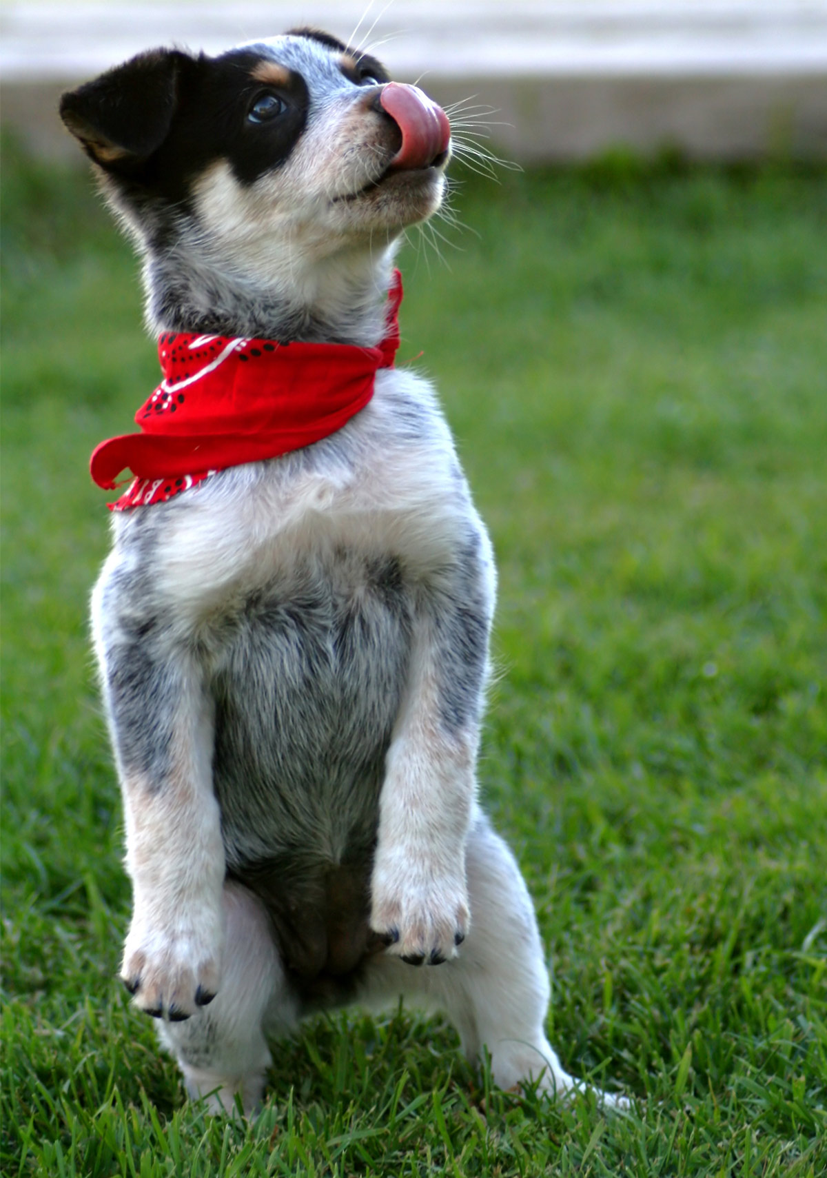 Blue Heeler Names - 200 Brilliant Ideas For Australian Cattle Dog