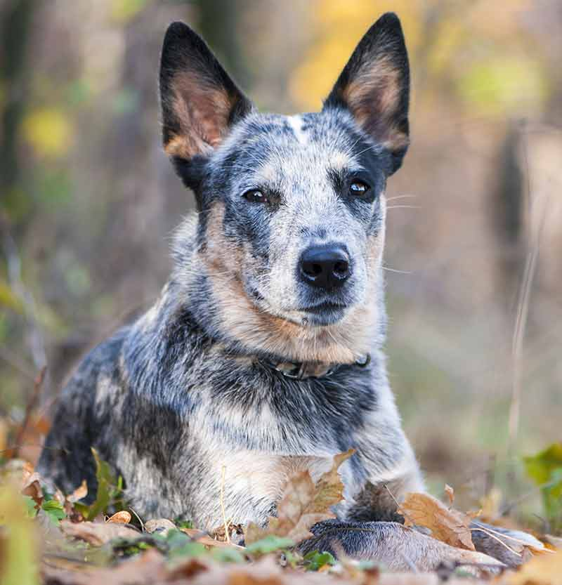 blue heeler lying in leaves