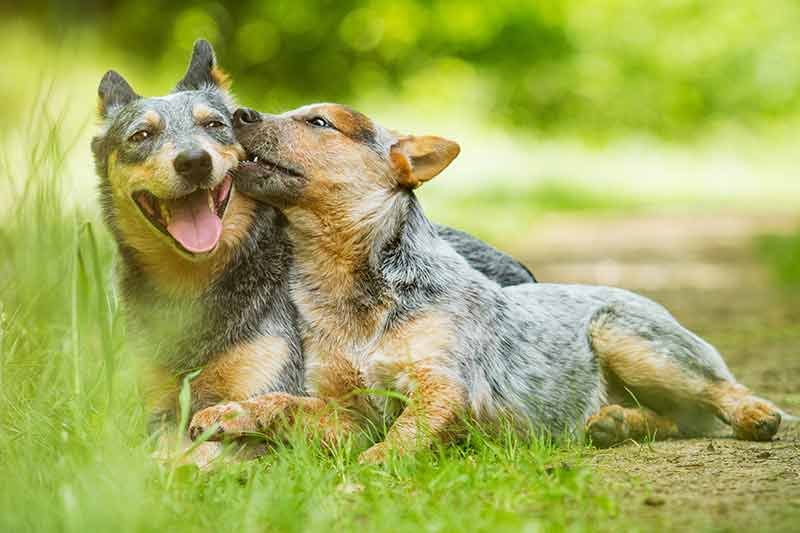 blue heeler pup with mom