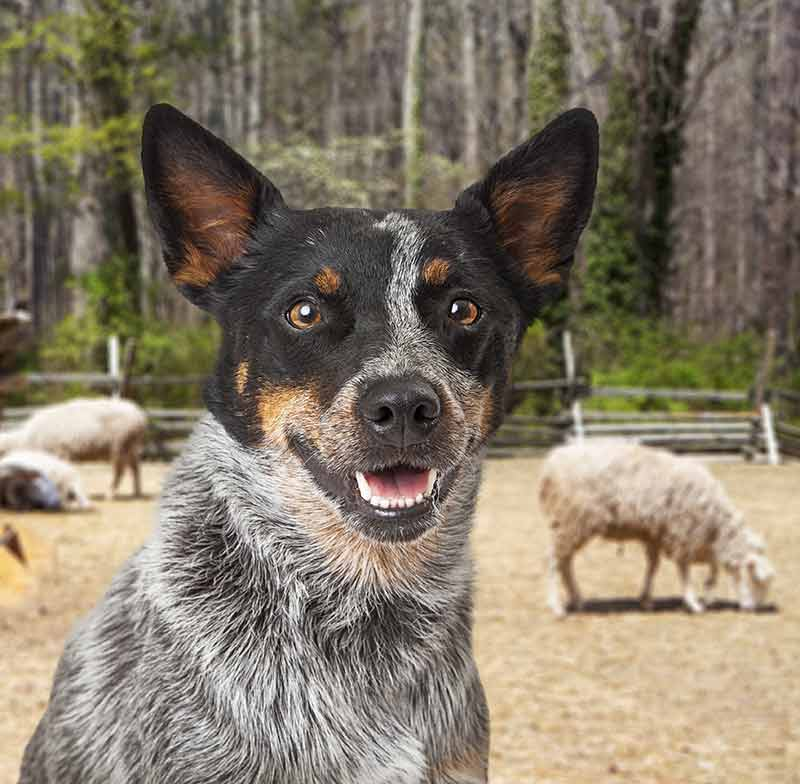 Blue Heeler with sheep