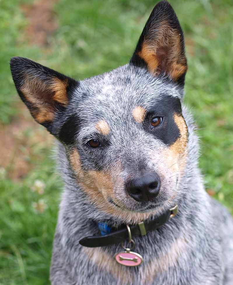 blue heeler pictures - all individually marked