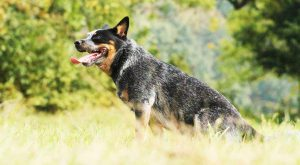 Blue Heeler Pictures – Photos Of Beautiful Australian Cattle Dogs