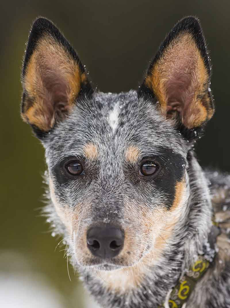 pretty blue heeler in winter