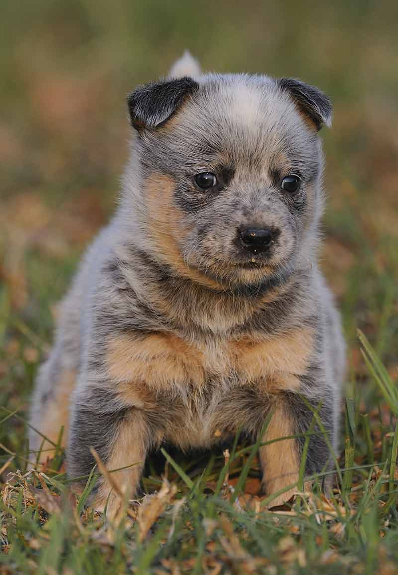 blue heeler puppy at 5 weeks