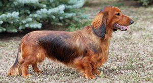 Dachshund Names – 300 Ideas For Naming Your Wiener Dog