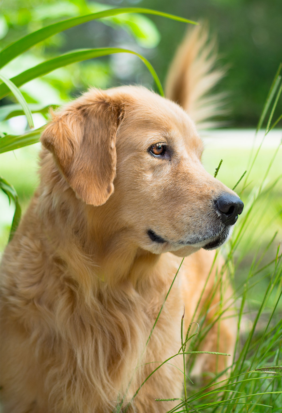 dogs similar to golden retriever pictures of golden retrievers golden retriever photo gallery 5908