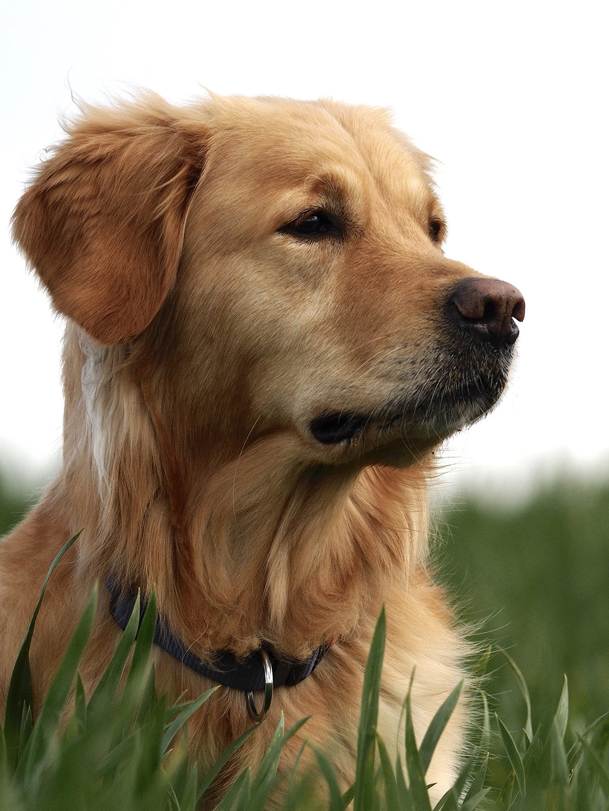 pictures of Golden Retrievers