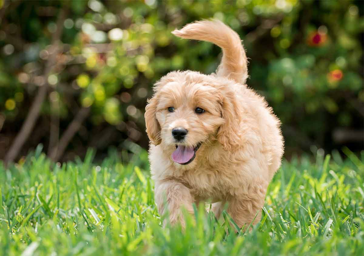 goldendoodle teddy bear dog