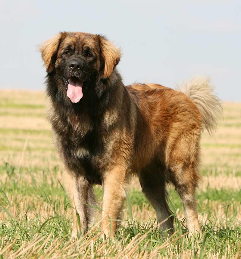 A Leonberger Dog