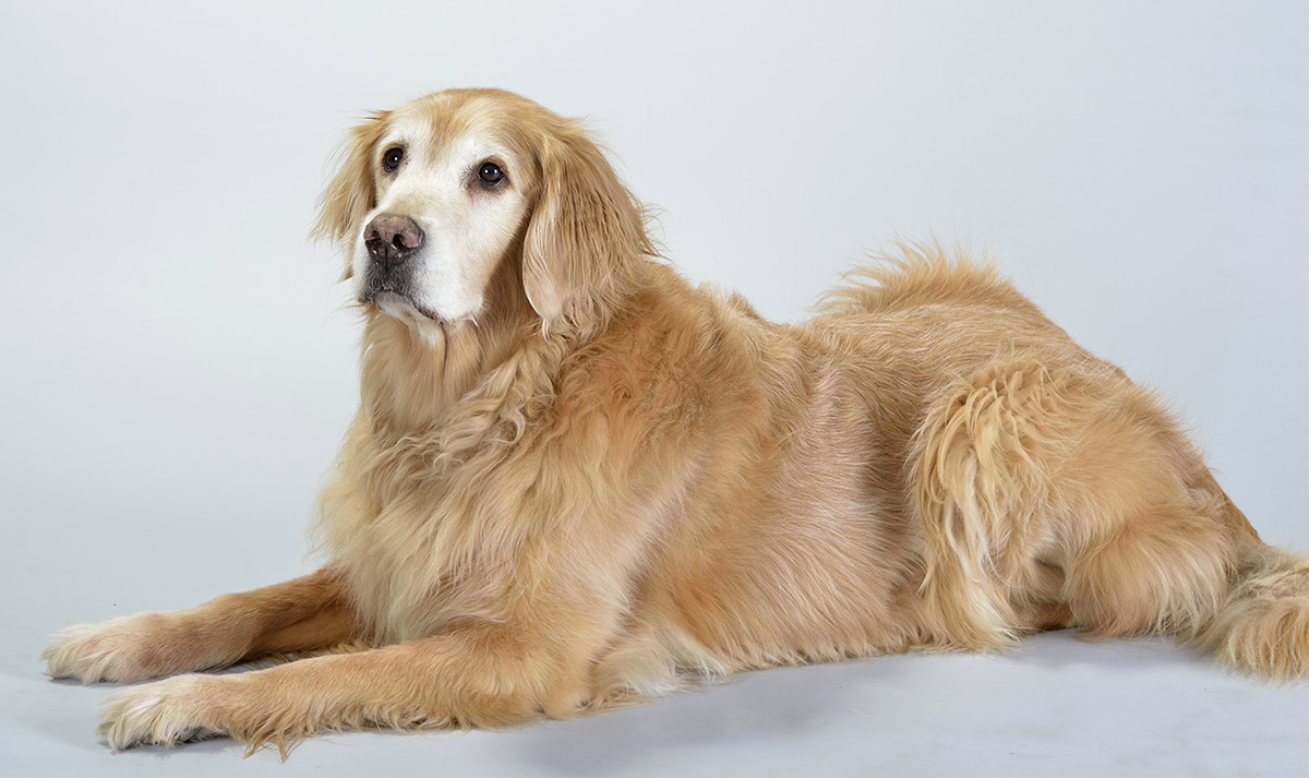Pictures of old Golden Retrievers