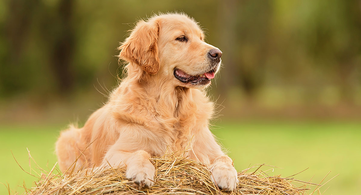 golden retriever - scottish dog breeds