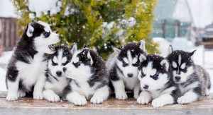 Pictures of Huskies