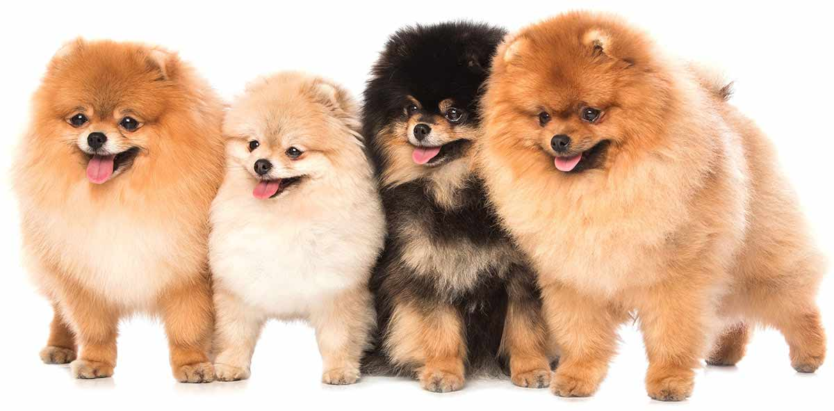Four toy dogs