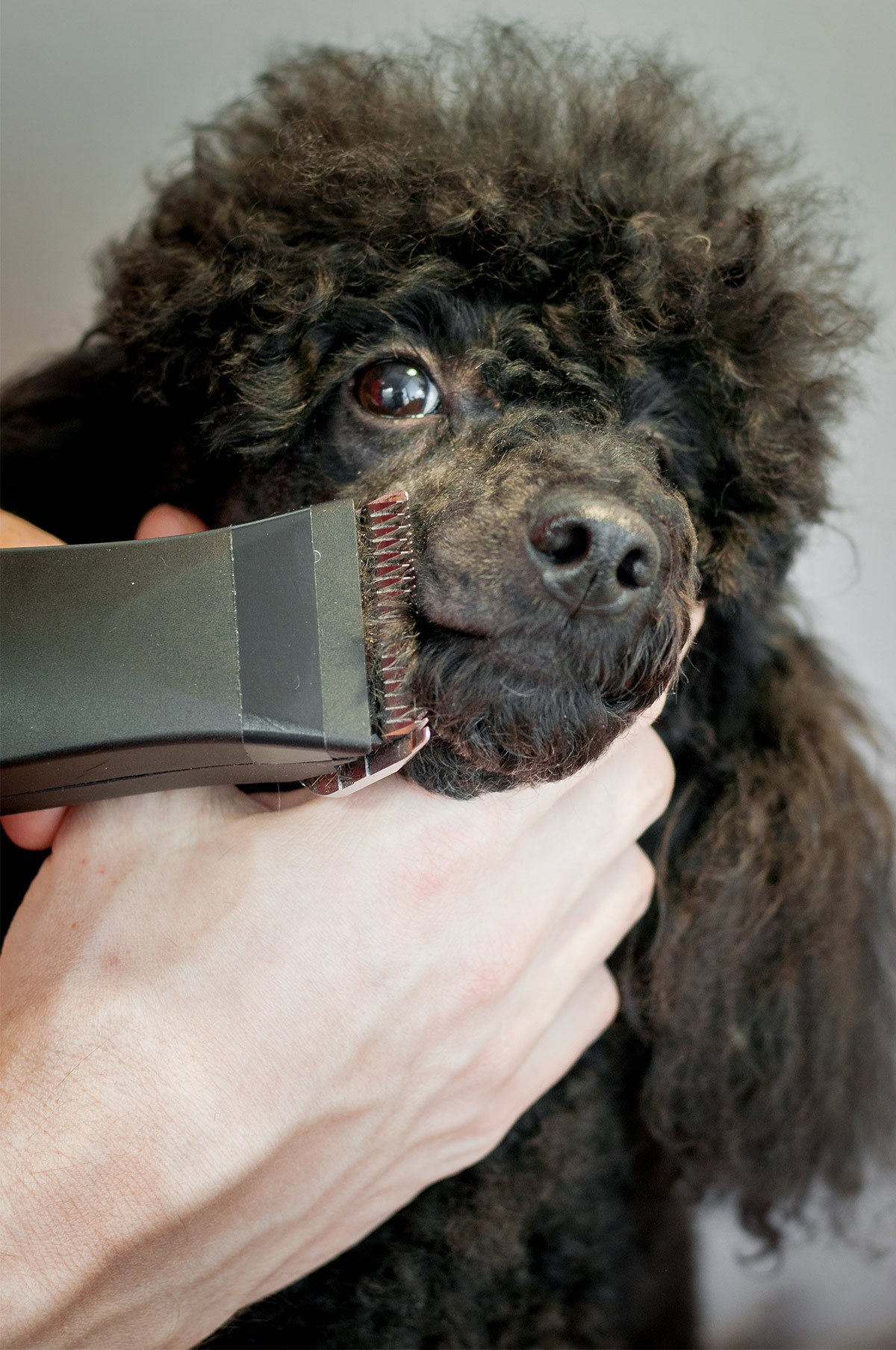 poodle grooming - a complete guide to how to groom a poodle