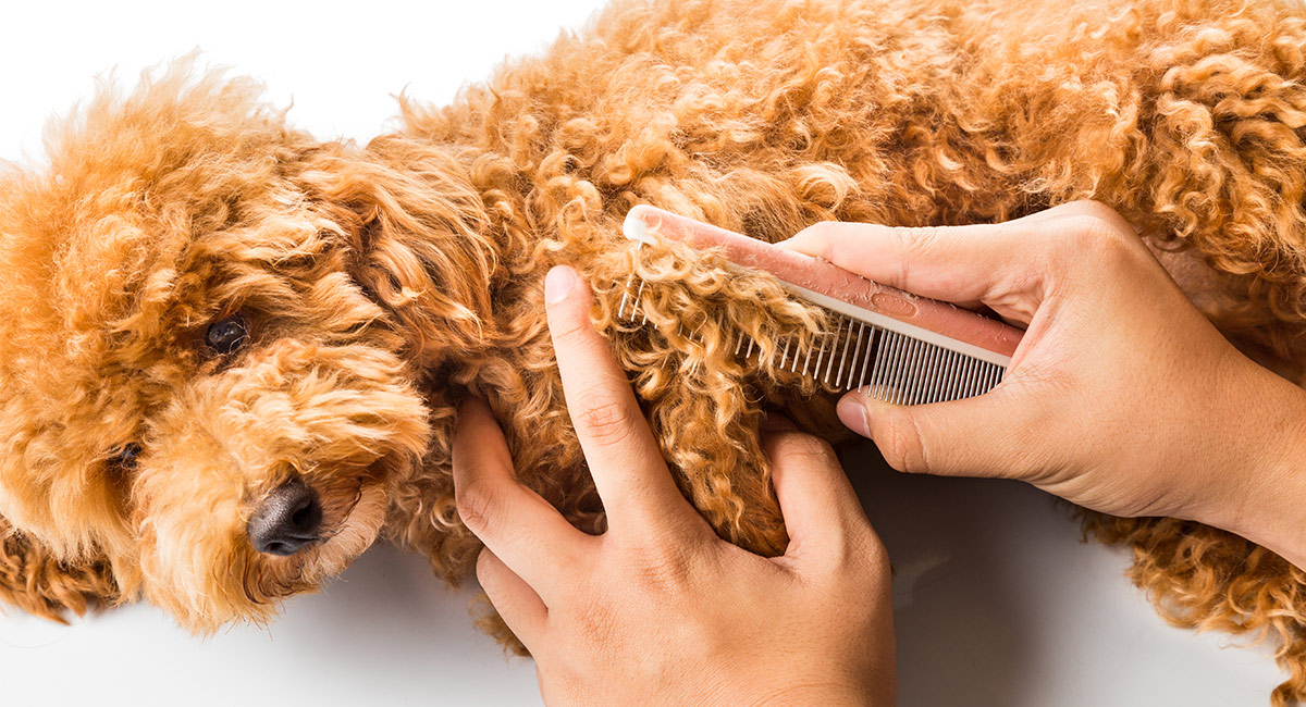 Poodle Grooming - How To Groom A Poodle