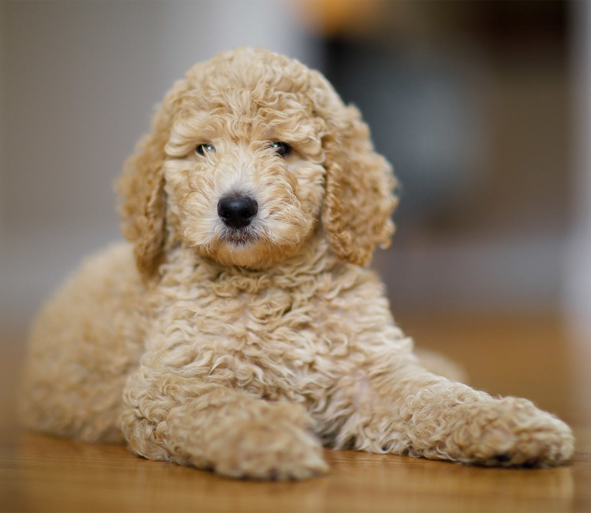 Toy Poodle - All About The World's Cutest, Curliest Dog Breed