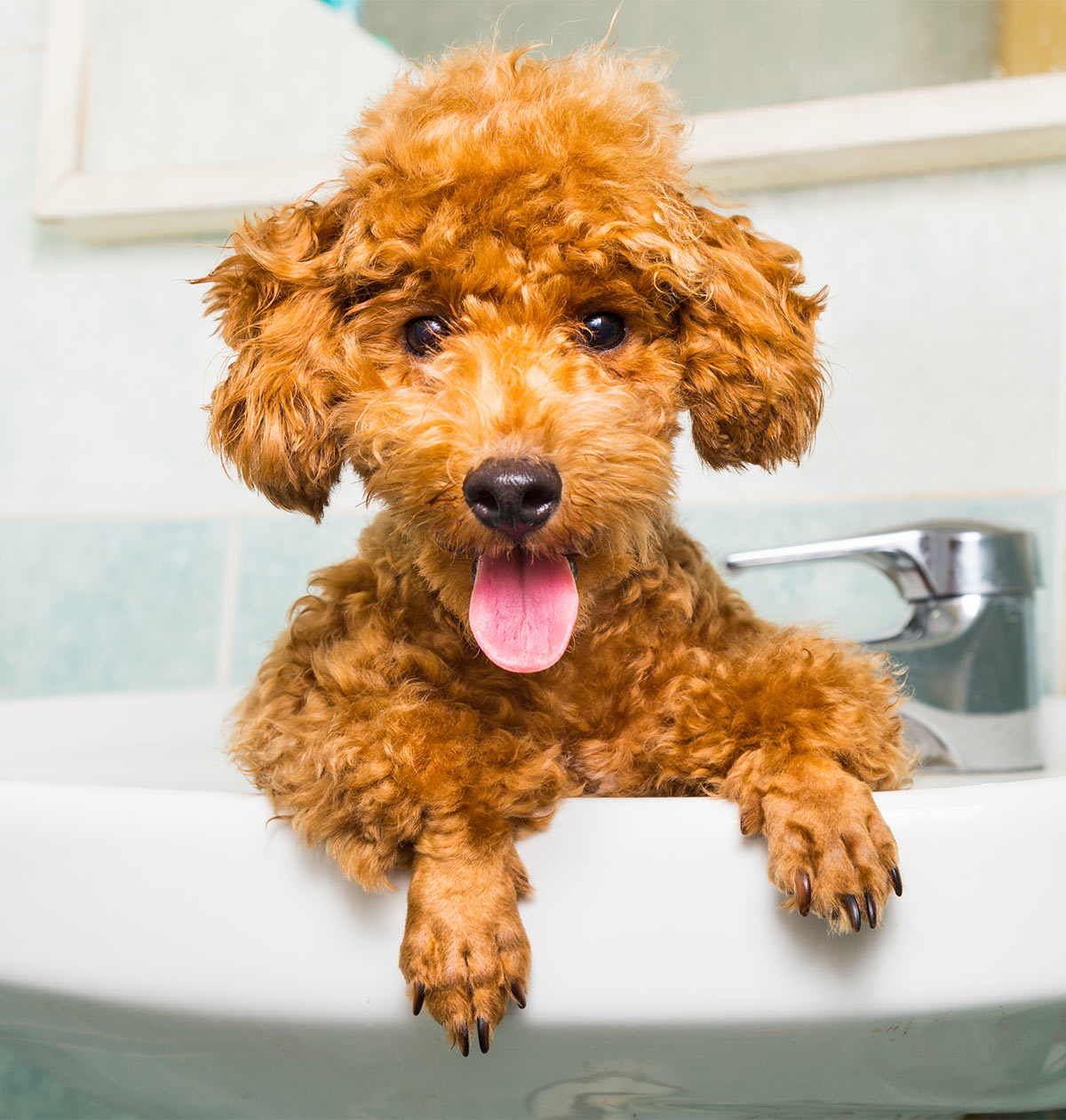 Toy Poodle All About The Worlds Cutest Curliest Dog Breed