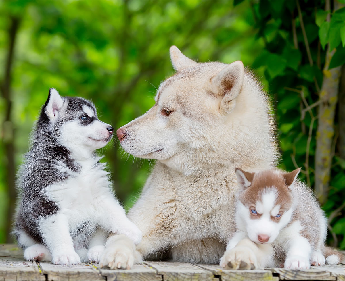 Pictures of Huskies with puppies