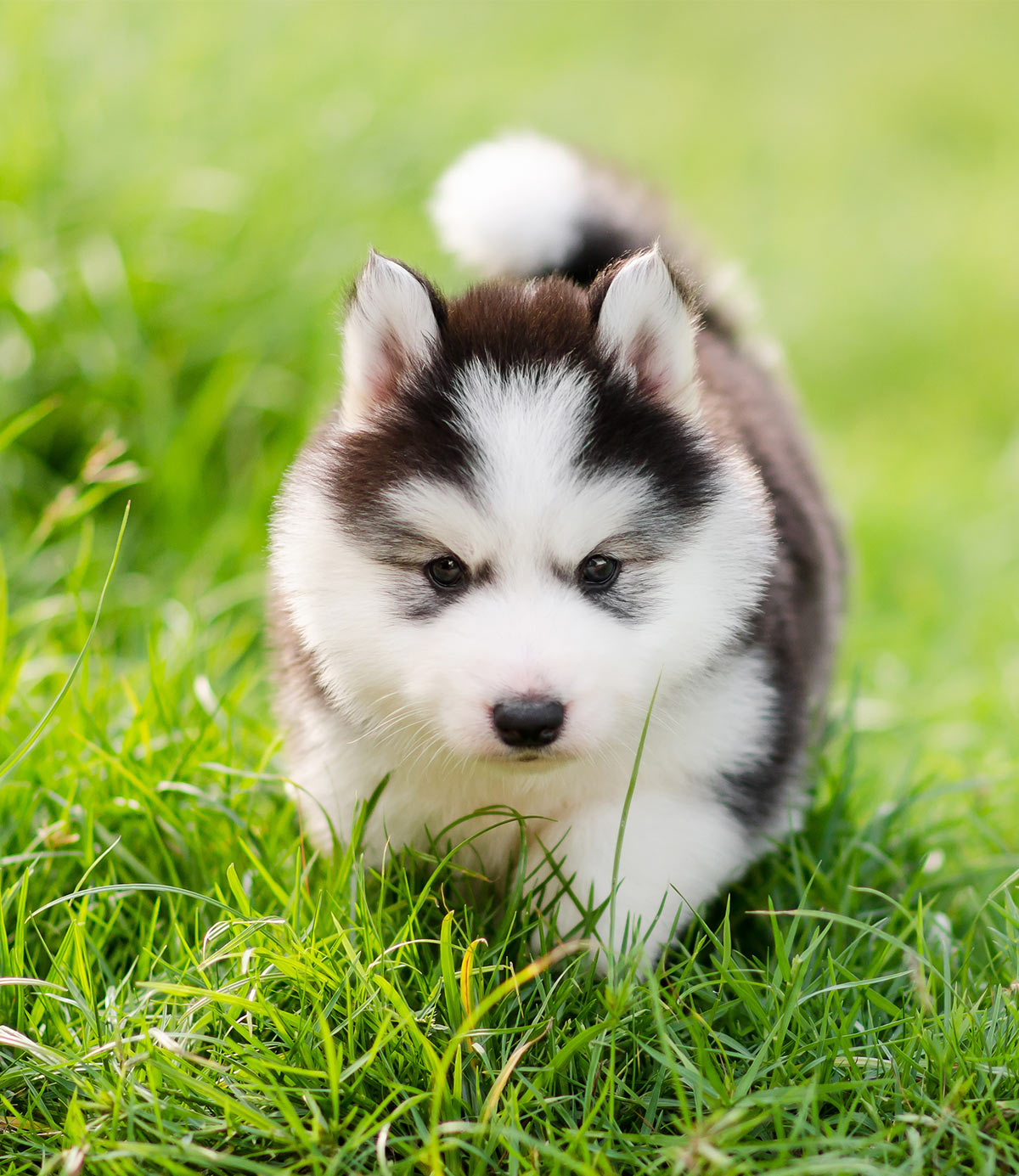 Pictures Of Huskies An Amazing Gallery Of Siberian And Alaskan Dogs And Pups