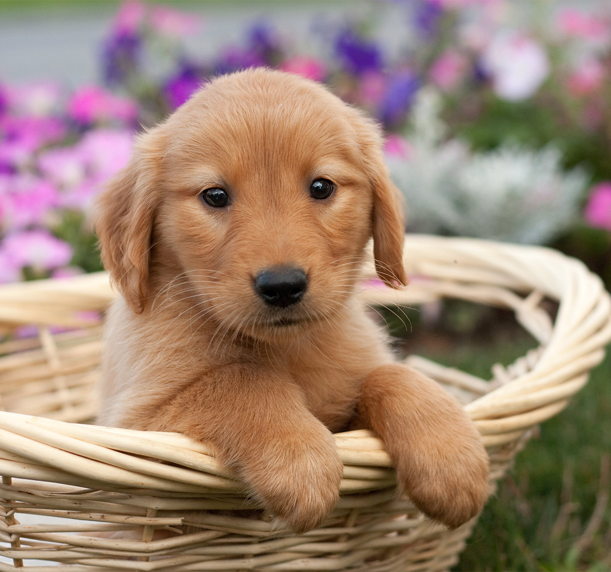 Pictures of Golden Retriever puppies