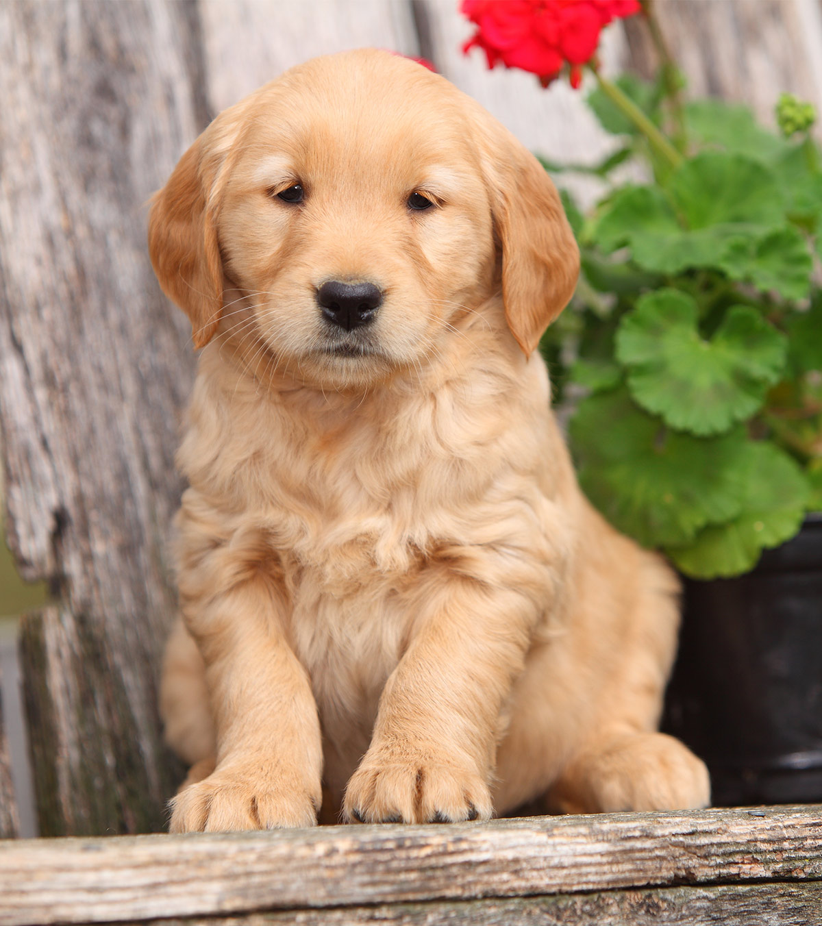 Pictures of Golden Retrievers puppy
