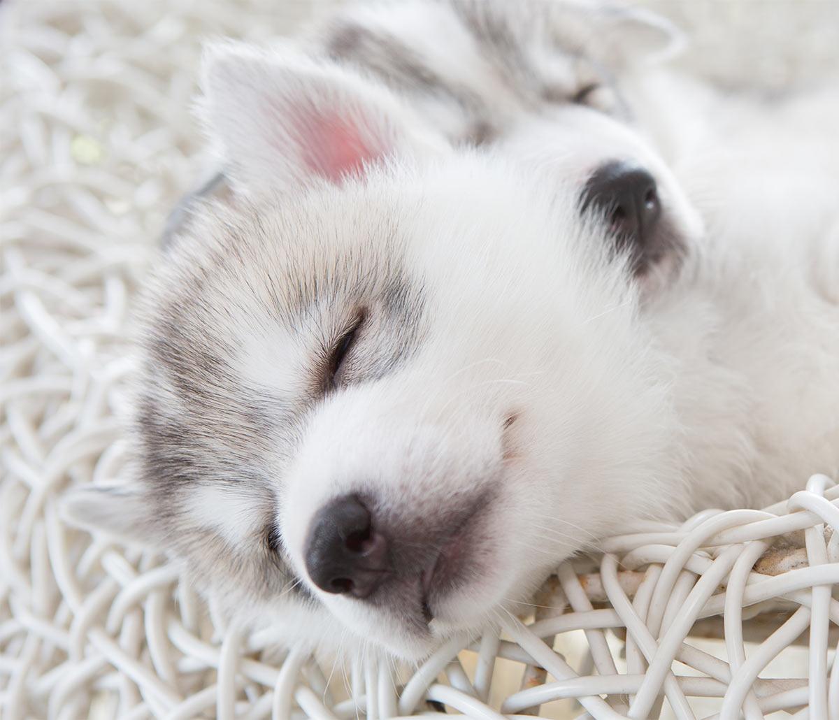 Husky puppy photos