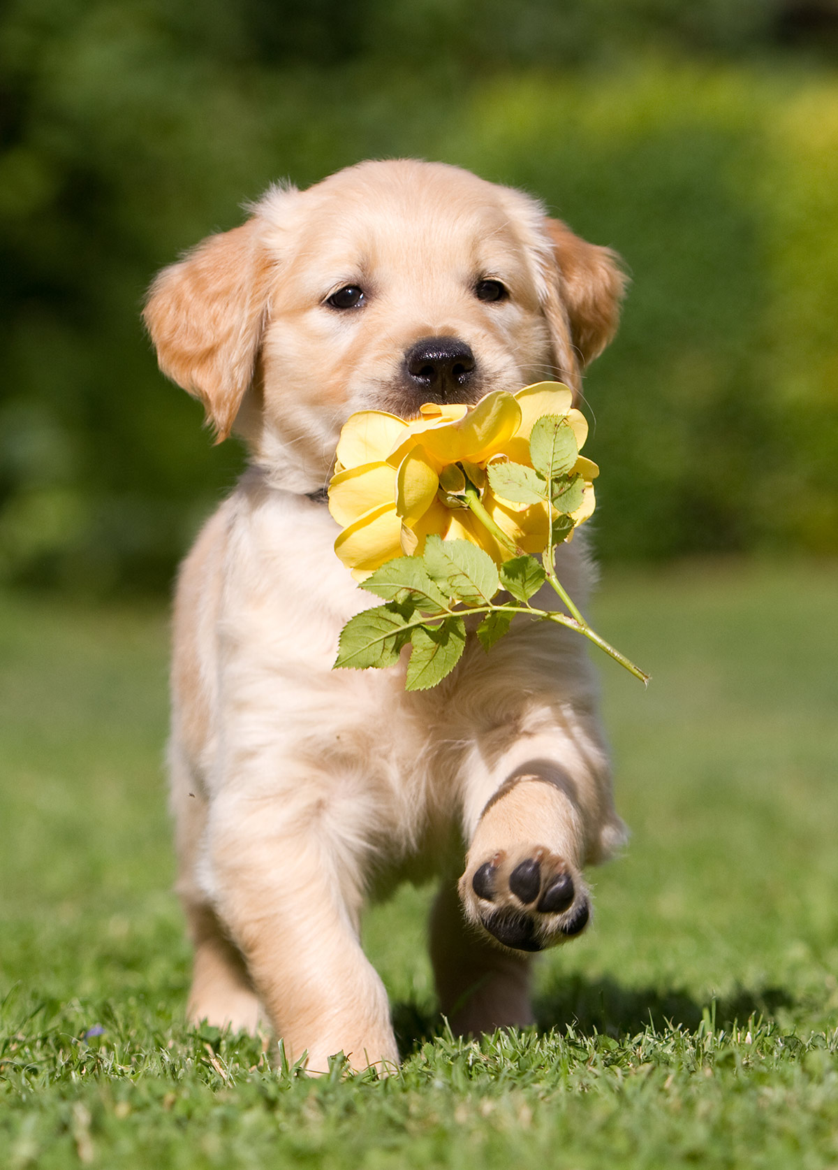 Golden retriever puppy pictures