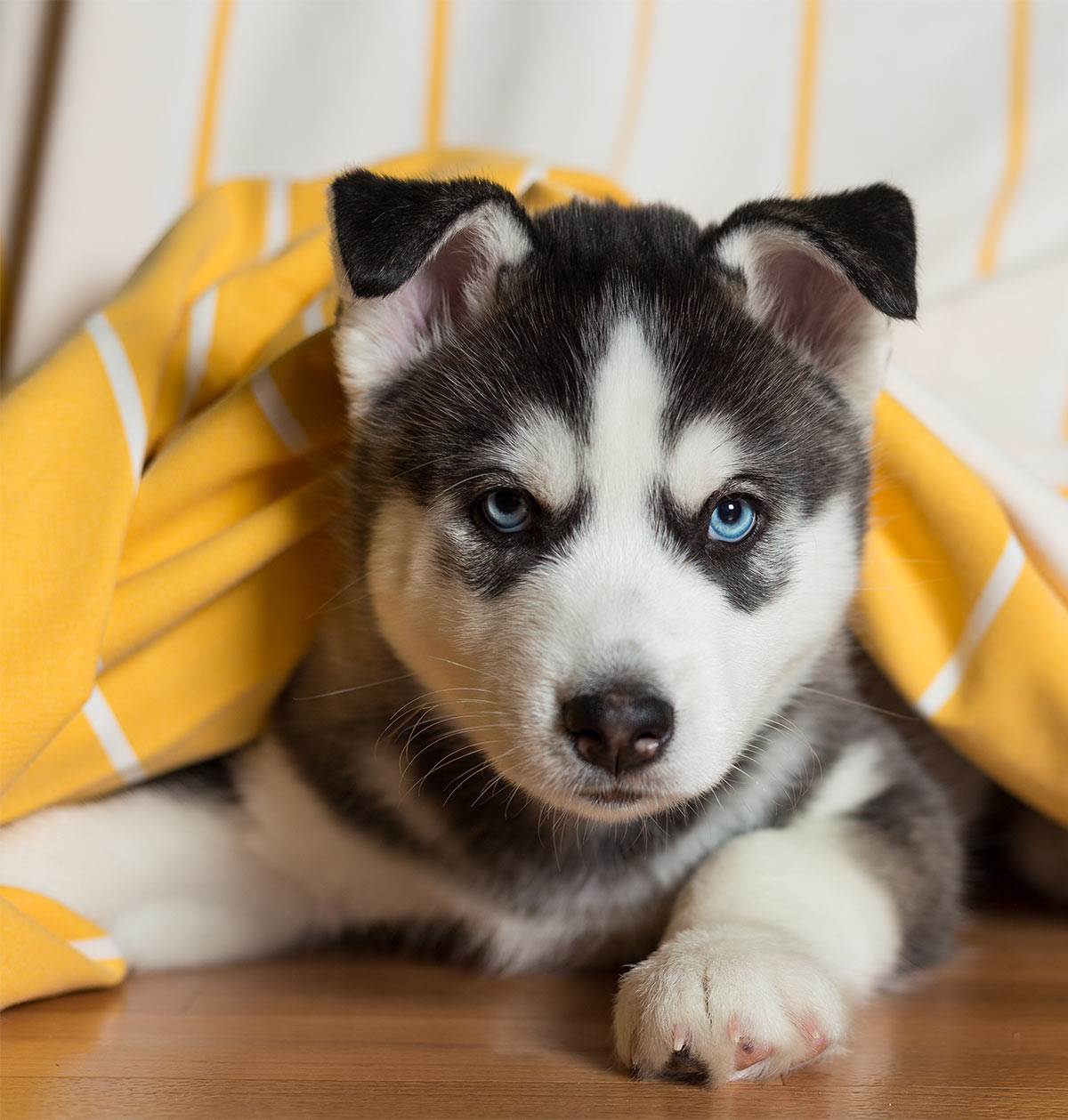 Pictures Of Huskies An Amazing Gallery Of Siberian And