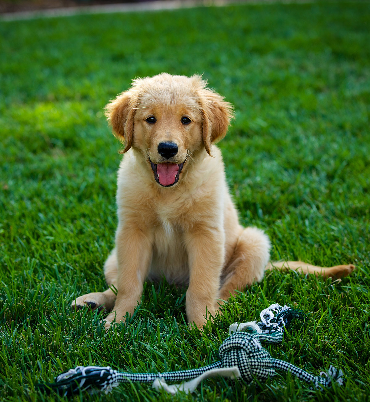 Photos of Golden Retriever puppies