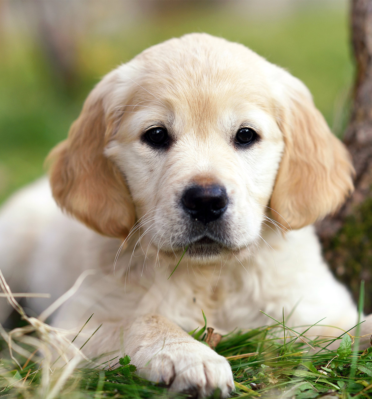 Puppy Pictures of Golden Retrievers
