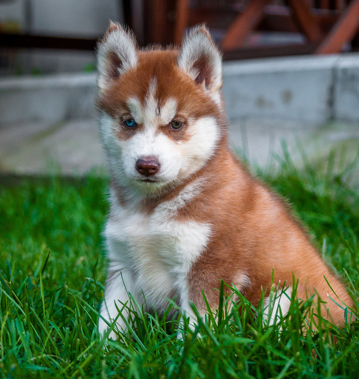 Pictures Of Huskies An Amazing