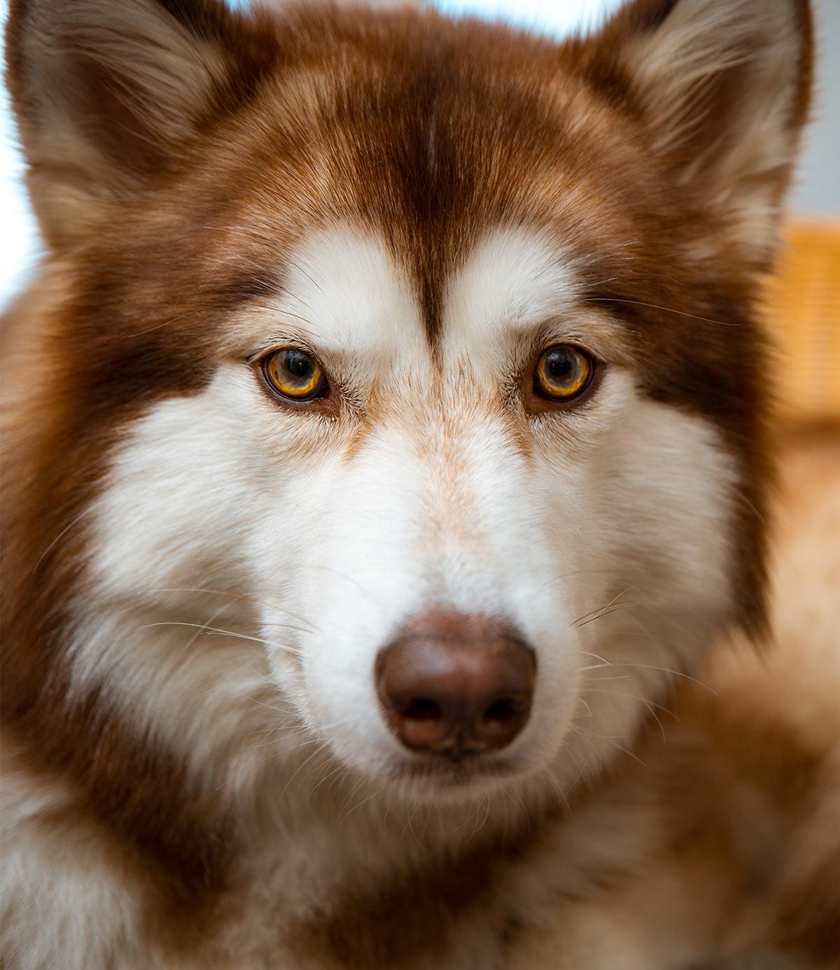 Pictures of Huskies