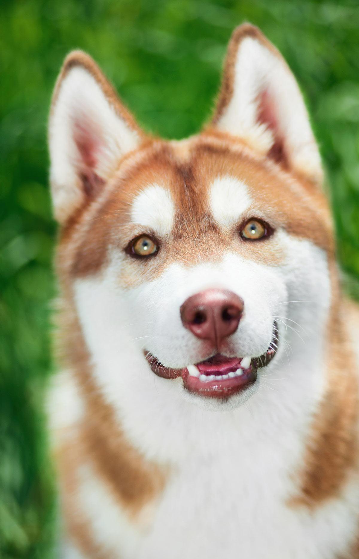 Pictures of Siberian Huskies